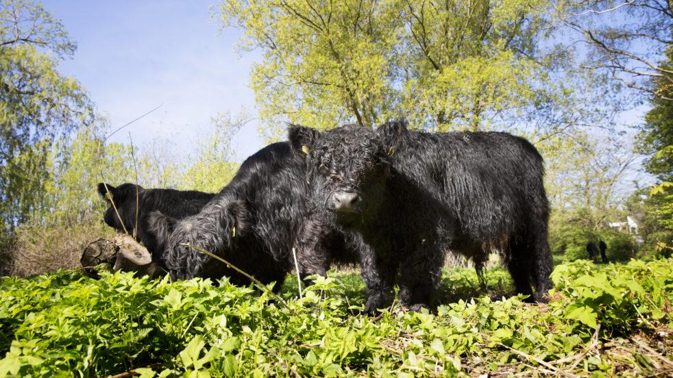 Tyrekalve hos Gentofte Kvæggræsserlaug